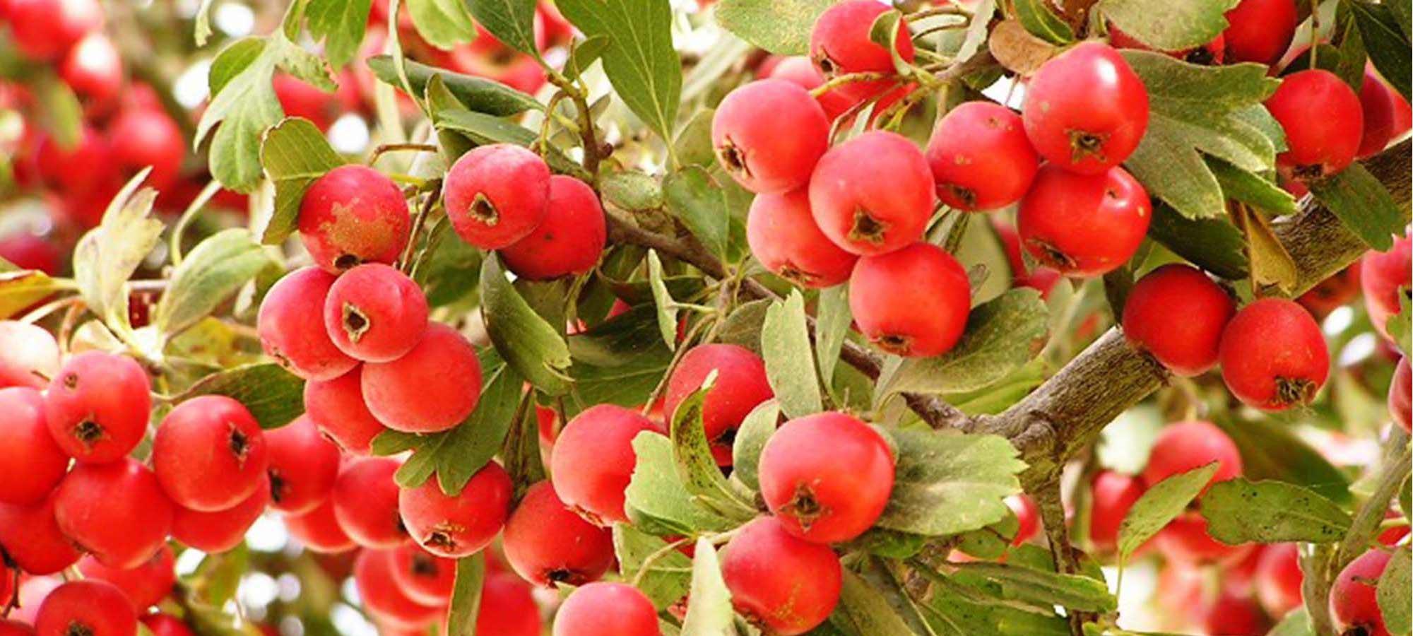עצי פרי מיוחדים
